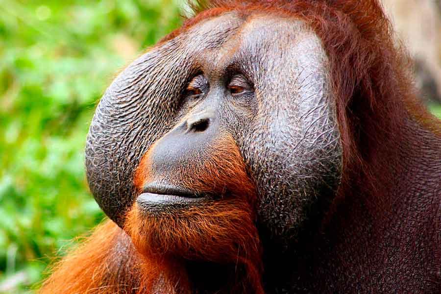La isla de Borneo - Orangután