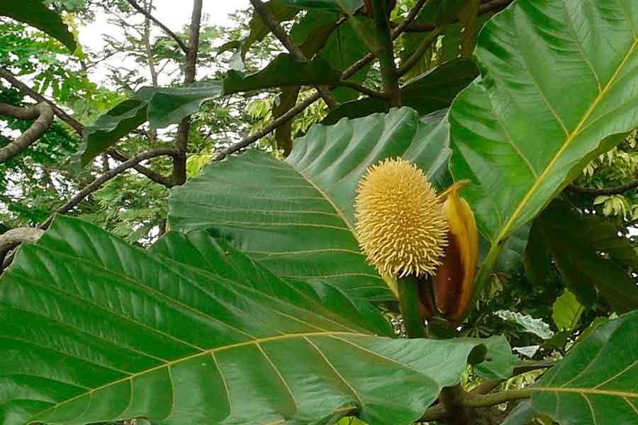 La isla de Java - Artocarpus elasticus