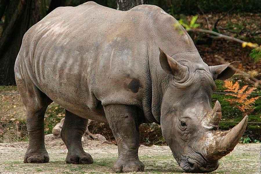 La isla de Java - Rinoceronte